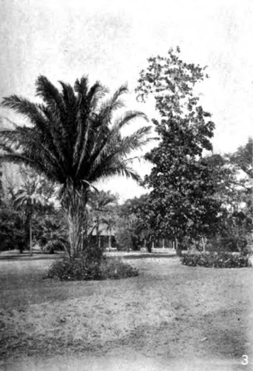 Americana 1920 Forest Trees - Cohune Palm and Mahoe.jpg