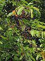 Amerikaanse vogelkers vruchten (1) Prunus serotina.jpg