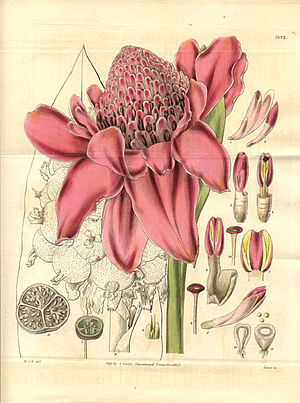Amomum - Amomum magnificum 1832 illustration