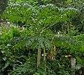 Amorphophallus paeoniifolius (Philippines) 5.jpg