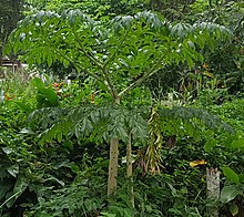 Amorphophallus Paeoniifolius Wikipedia