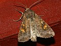 Amphipoea fucosa lucens oculea - Ear moth - Совка яровая (40398556324).jpg