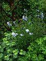 Amsonia hubrichtii hybrid - Flickr - peganum (2).jpg