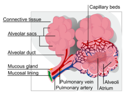 An alveolus, is an anatomical structure that has the form of a hollow cavity. Mainly found in the lung, the pulmonary alveoli are spherical outcroppings of the respiratory bronchioles and are the.png
