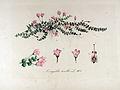 Anagallis tenella — Flora Batava — Volume v13.jpg