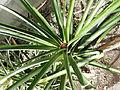 Ananas.comosus.2608.JPG