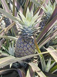 Ananas.comosus1web.jpg