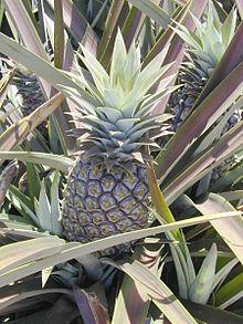 Ananas Wikipedia