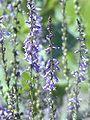 Anarrhinum bellidifolium2.jpg