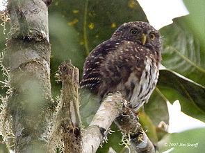 Andean Pygmy-owl (Glaucidium jardinii) in tree.jpg