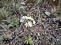 Androsace lactiflora 127694208.jpg