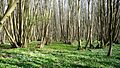 Anemones in Shrawley Woods - Flickr - gailhampshire.jpg