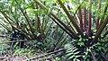 Angiopteris-evecta-alexandra-range1.jpg