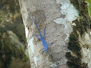 Gorgona Island (Colombia) - Anolis gorgonae