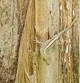 Anolis marmoratus (Ctenonotus).jpg