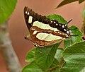Anomalous Nawab (Polyura agraria) on Jatropha species in Hyderabad W IMG 7143.jpg