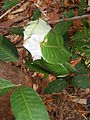 Ant nest in a forest of Thailand.JPG