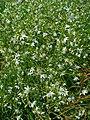 Anthericum ramosum 001.JPG
