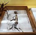 Anthrenus museorum. The effects of the activity. Destroyed Phasmatodea.jpg