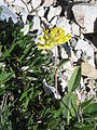 Anthyllis alpestris01.jpg
