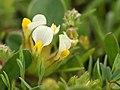 Anthyllis tetraphylla (inflorescense).jpg