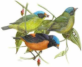 Wildlife of Dominica - Antillean Euphonia