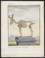 Antilope bubalis - skelet - 1700-1880 - Print - Iconographia Zoologica - Special Collections University of Amsterdam - UBA01 IZ21400127.tif