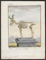 Antilope bubalis - skelet - 1700-1880 - Print - Iconographia Zoologica - Special Collections University of Amsterdam - UBA01 IZ21400127.tif