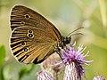 Aphantopus hyperantus Schornsteinfeger Brauner Waldvogel 160703-0343 TegelFließ SOOCx.jpg