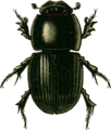 Aphodius fossor Jacobson.png