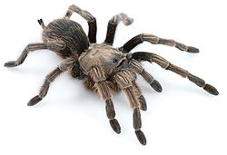 Aphonopelma johnnycashi female.jpg
