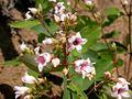 Apocynum androsaemifolium (3292182967).jpg