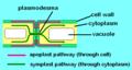 Apoplast and symplast pathways.png