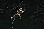 Spider showing its epigyne