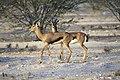 Arabian Gazelle.jpg