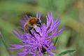 Araignées, insectes et fleurs de la forêt de Moulière (Le Gâchet de Villiers) (29096952766).jpg