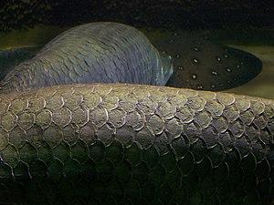 Arapaima - Image: Arapaima gigas scales 3860