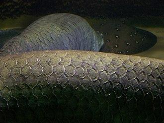 Arapaima - Closeup of scales