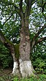 Arborele secular în apropiere.jpg