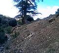 Arbre (Cèdre de l'Atlas) parc national de Belezma 7.JPG
