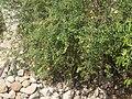 Arbusto de Granada.JPG