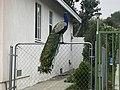 Arcadia Peacock.jpg