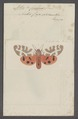 Arctia - Print - Iconographia Zoologica - Special Collections University of Amsterdam - UBAINV0274 055 05 0002.tif