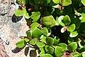 Arctostaphylos uva-ursi, Chitelet - img 34515.jpg
