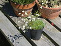 Arenaria ledebouriana (19117309358).jpg