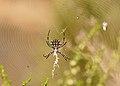 Argiope lobata hembra y argyrodes (4898006609).jpg
