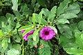 Argyreia cuneata - Purple Morning Glory - at Beechanahalli 2014.jpg
