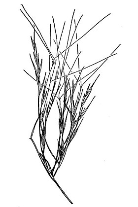 Aristida californica HC-1950.jpg