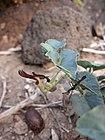 Aristolochia bracteolata Lam.jpg