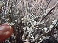 Artemisia bigelovii — Matt Lavin 004.jpg